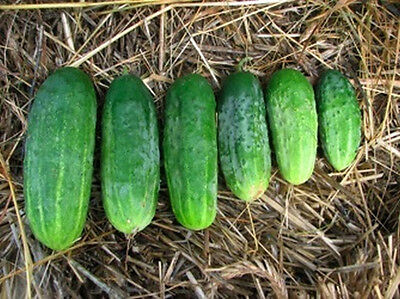 Patio Cucumber - For Compact Growing Spots..Tastes GREAT!!  FREE SHIPPING!!!!