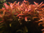x3-Ammania-Gracilis-Potted-Freshwater-Live-Aquarium-Tropical-Plant-Decorations thumbnail 4