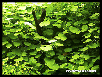 Live Aquarium Carpet Plants / Foreground / HC / Hairgrass / Tenellus and others