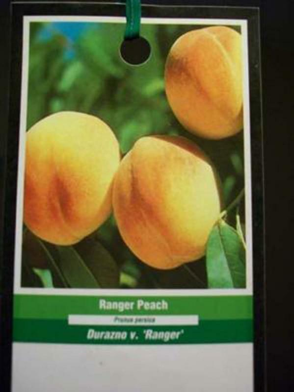 RANGER PEACH 5 GAL Fruit Tree Plant Your Trees NOW Ship to all 50 States USA