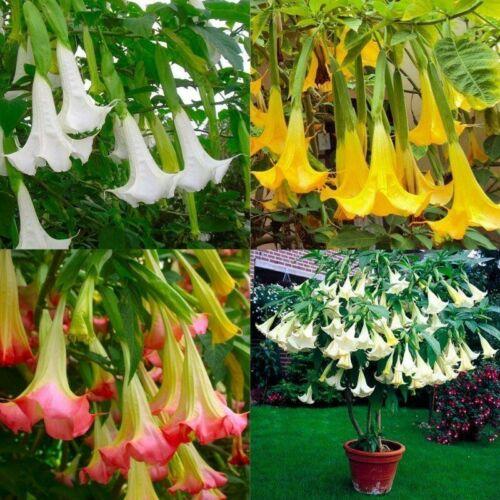 100 Brugmansia Flower Seeds Mixed Datura Angel Trumpet Home Rare Plant Bonsai