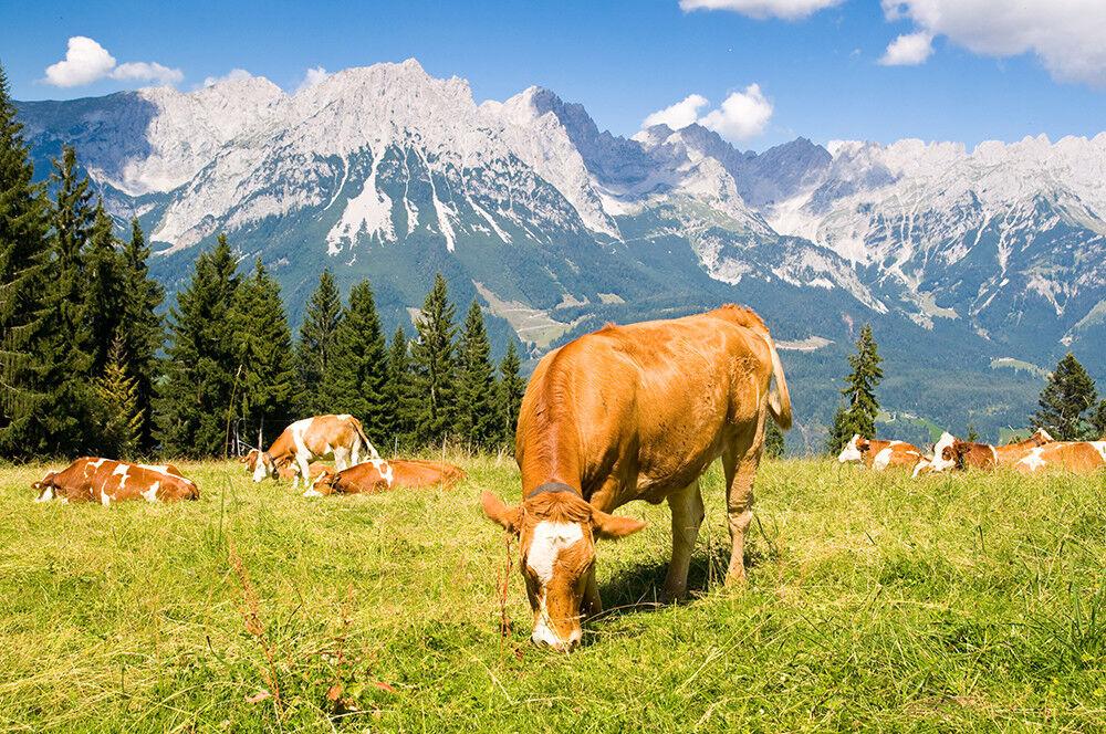 Fototapete Kühe Alpen Berge Wiese - Kleistertapete oder Selbstklebende Tapete
