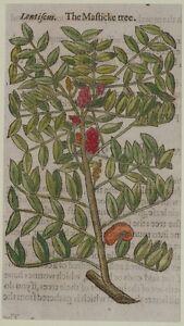 JOHN-GERARD-BOTANICA-MATTHIOLI-1597-LENTISCUS-LENTISCHIO-LENTISK