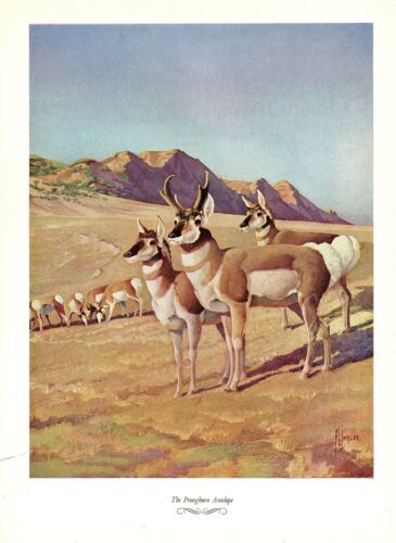 """1957 Vintage FRANCIS LEE JAQUES /""""PRONGHORN ANTELOPE/"""" Color HUNTING Lithograph"""