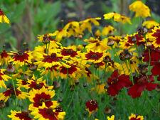 Plains Coreopsis Seeds - COREOPSIS TINCTORI - MEDICINAL BENEFITS - 50+ Seeds