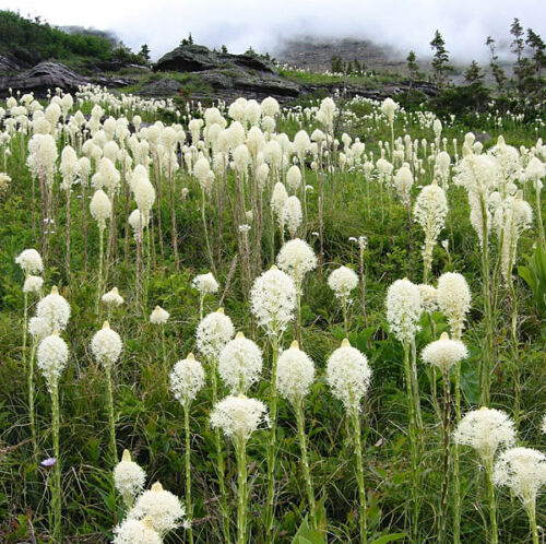 50 graines-Bear Grass//Indian panier herbe Xerophyllum tenax