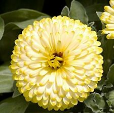 CALENDULA  BON BON YELLOW 50 FRESH SEEDS FREE SHIPPING