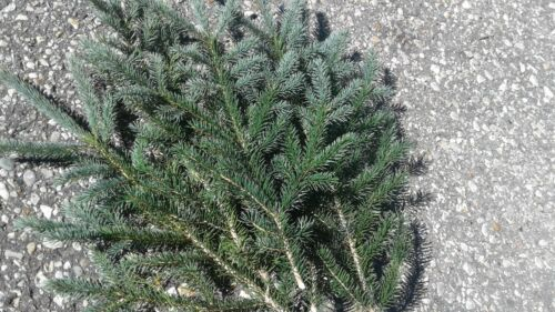 "Fresh Cut Real Boughs 20 15/"" Greens Evergreen Mix Tip Winter Wedding Baby shower"