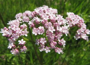 Valeriana-officinalis-Seeds-common-valeriana-organic-seeds-non-gmo-Ukraine-0-1-g