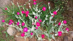 Rose campion lambs ear silver perennial ground cover pink fuchsia image is loading rose campion lambs ear silver perennial ground cover mightylinksfo