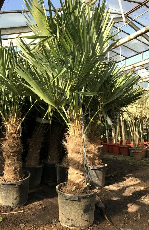 winterharte hanfpalme 180cm trachycarpus fortunei palme 17 c stamm 70cm ebay. Black Bedroom Furniture Sets. Home Design Ideas