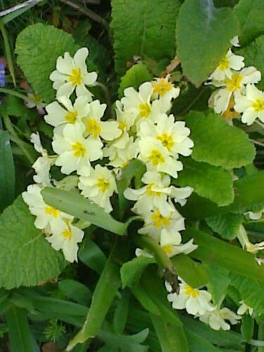 10 established bare root wild primrose plants,plant now.please see info..