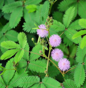 Rare-Exotic-Sensitive-Plant-Fresh-Seeds-From-Canada