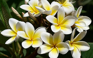 """Florida Professionally Grown Plumeria cutting 15 to 17""""- *ROOTED*"""
