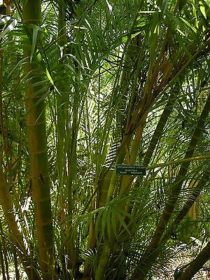 Dypsis lutescens HARDY ARECA PALM Seeds!