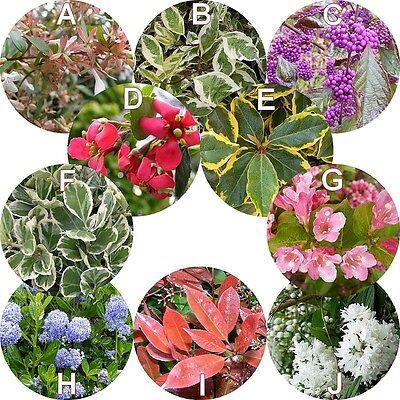 Haie décorative et fleurie en kit de 10 arbustes