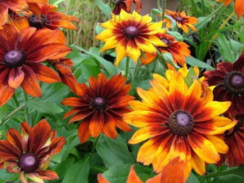 100 Black Eyed Susan Mix Flower Seeds-Rudbeckia Hirtia Golden Coneflower-FL133