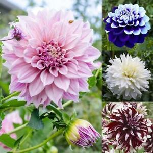 20pcs-bag-Mix-Dahlia-Flower-seeds-Great-Bonsai-Plant-Perennial-Stunning-Blooming