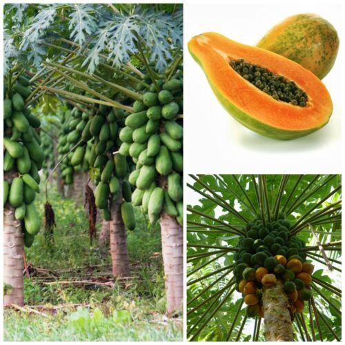 papaia papaya 50 semi di Carica papaya seeds