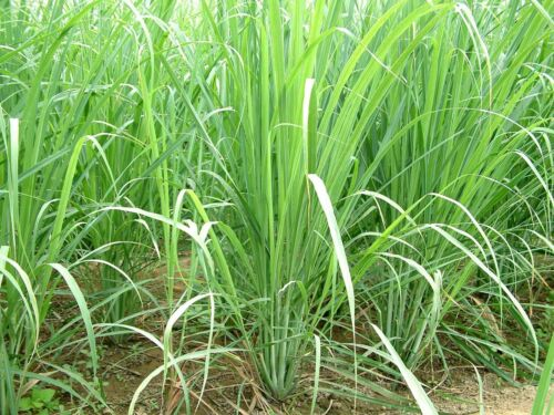 Organic 1 Fresh rooted lemongrass live plant ready to pot and soil in garden