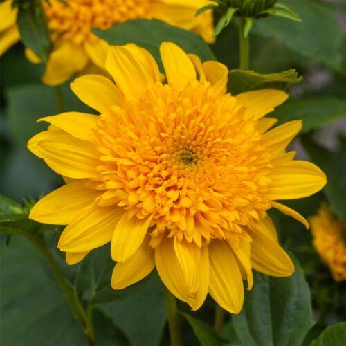 Helianthus Gärtnerei Qualität Stauden-Sonnenblume Double Whammy