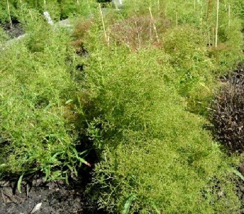 Teloxys Aristata Seeds 10,000 pieces Seafoam model tree seeds