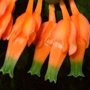 Amazing-rare-Macleania-pentaptera-Unusual-blueberry-relative-caudex-plant