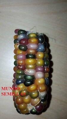 MAIZ gema CRISTAL el maiz más bonito del Mundo  20 Semillas- Seeds