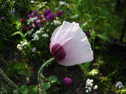 blaumohn poppy seed Environ 2000 très frais et infrastructuresainsi Pavot graines