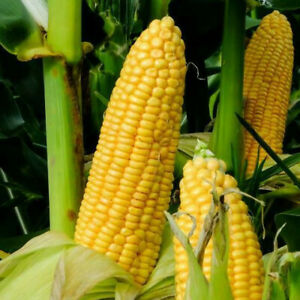 Honey Select Sweet Corn Seeds   USA Untreated Organic Non GMO Vegetable for 2021