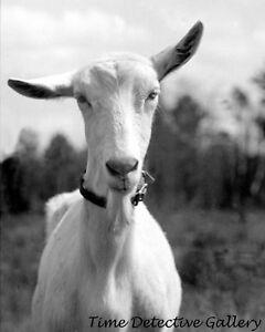 Details about A Cock-Eared Saanen Goat, Pr  Georges Cnty, MD - 1935 -  Vintage Farm Photo Print