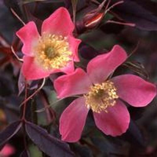 ROSA GLAUCA THORNLESS ROSE SILVER//BLUE FOLIAGE hardy perennial 20 Seeds