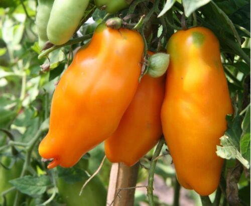 Tomate Eros Orange Organique non OGM Ukraine 20 graines Farmer/'s Dream