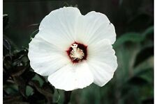 25 LUNA WHITE HARDY HIBISCUS Moscheutos Flower Small Bush Seeds +Gift & Comb S/H