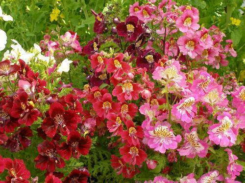 POOR MANS ORCHID FLOWER SCHIZANTHUS ANGEL WINGS MIX 25 GRAM ~  37,500 SEEDS