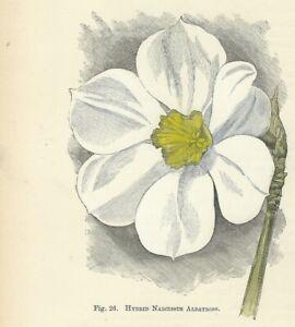 Fiori In Inglese.Narcissus Albatross Stampa Antica Del 1896 Di Fiori Incisione