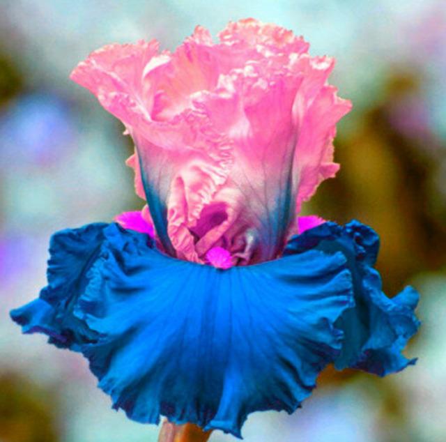 2 Iris Bulbs Roots Pink White Flower Bearded Gift Fragrant Bonsai Home Perennial