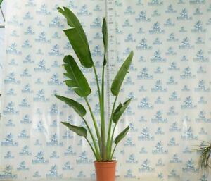 Ravenala madascariensis 200-220 cm, pot 28 cm