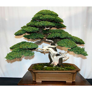 Seed Pack Juniper Bonsai Tree Ebay