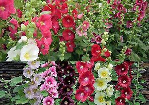 100-Samen-Alcea-rosea-ficifolia-mix-Stockrosen-Farben-Mix-UNGEFULLT
