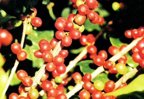 New Limited Variety 50 Seeds Coffee Bean Plant Seeds TROPICAL ROBUSTA