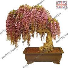 RARE GOLD Wisteria FLORIBUNDA bonsai pianta da fiore -10 semi vitali