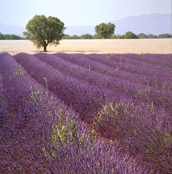 Bret Staehling  Lavender vista vista vista a 2 COMPLETO - 50x50 Immagine Muro Immagine LAVANDA Provenza 9eba5b