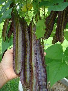 10 pcs Psophocarpus tetragonolobus vegetable seeds