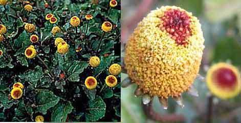 Spilanthes Acmella Graines-Rage de dents Plante medicinal