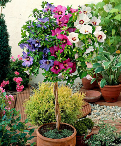 HIBISCUS SYRIACUS - Rose of Sharon 50 fresh seeds MIX SEEDS