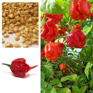 Super-Hot-Carolina-Reaper-Chilli-Pepper-semillas-100-Originales-Reino-Unido-Vendedor