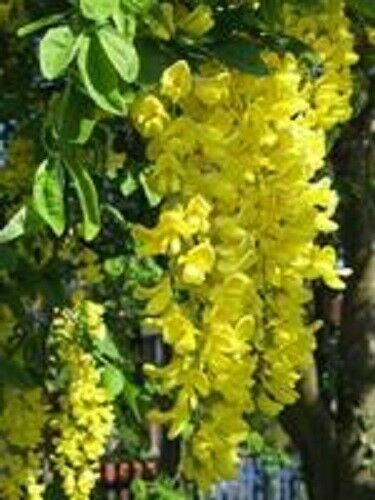 10 GOLDEN CHAIN TREE Goldenchain Laburnum Anagyroides Seeds + Gift & Comb S/H
