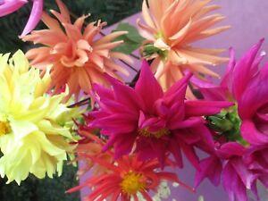 Dalia-Cactus-Flower-mix-50-semillas