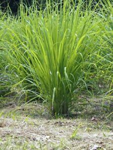 Inquiet Seedeo ® Westindisches De La Citronnelle Cymbopogon Citratus 100 Graines-afficher Le Titre D'origine